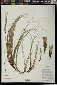 view Carex xerophila Janeway & Zika digital asset number 1