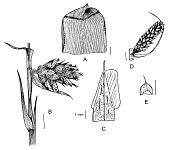view Hohenbergia penduliflora (A. Rich.) Mez digital asset number 1