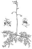 view Utricularia vulgaris L. digital asset number 1