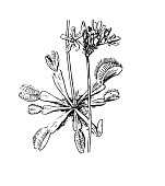 view Dionaea muscipula J. Ellis digital asset number 1