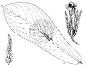view Besleria formicaria Nowicke digital asset number 1