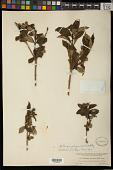 view Stillingia zelayensis (Kunth) Müll. Arg. digital asset number 1