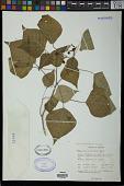 view Homalanthus populifolius Graham digital asset number 1
