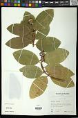 view Phaleria disperma (G. Forst.) Baill. digital asset number 1