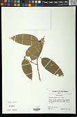 view Phaleria glabra (Turrill) Domke digital asset number 1