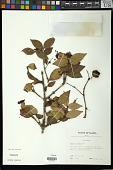 view Syzygium uniflorum Merr. & L.M. Perry digital asset number 1
