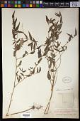 view Sebastiania corniculata (Vahl) Müll. Arg. digital asset number 1