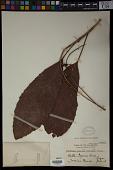 view Fahrenheitia pendula (Hassk.) Airy Shaw digital asset number 1