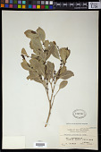 view Suregada glomerulata (Blume) Baill. digital asset number 1