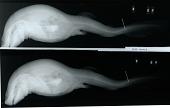 view Cephaloscyllium ventriosum digital asset number 1
