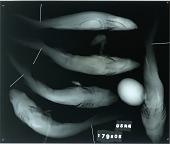 view Echinorhinus cookei digital asset number 1