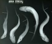 view Etmopterus schultzi Bigelow et al. digital asset number 1