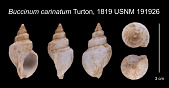 view Buccinum carinatum Turton, 1819 digital asset number 1