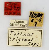 view Tabanus trigonus Coquillett, 1899 digital asset number 1