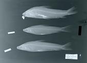 view Schizodon fasciatum corti Schultz digital asset number 1