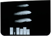 view Pseudochromis tapeinosoma digital asset number 1