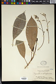 view Trigonostemon philippinensis Stapf digital asset number 1