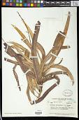 view Codiaeum variegatum (L.) Rumph. ex A. Juss. digital asset number 1