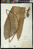 view Codiaeum ciliatum Merr. digital asset number 1