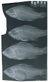 view Ostorhinchus maculiferus digital asset number 1