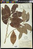 view Microdesmis magallanensis (Elmer) Steenis digital asset number 1