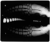 view Delphinus delphis (Linnaeus, 1758) digital asset number 1