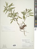 view Ludwigia polycarpa Short & R. Peter digital asset number 1