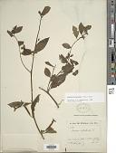 view Ludwigia octovalvis (Jacq.) P.H. Raven digital asset number 1