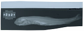 view Microstoma schmitti Fowler digital asset number 1