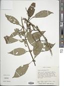 view Fuchsia scabriuscula Benth. digital asset number 1