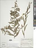 view Ludwigia nervosa (Poir.) H. Hara digital asset number 1