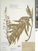 view Chamaenerion angustifolium subsp. circumvagum (Mosquin) Moldenke digital asset number 1