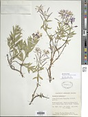view Chamaenerion latifolium (L.) Th. Fr. & Lange digital asset number 1