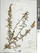 view Ludwigia sericea (Cambess.) H. Hara digital asset number 1