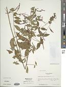 view Lopezia semeiandra Plitmann et al. digital asset number 1