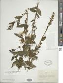 view Ludwigia martii (Micheli) Ramamoorthy digital asset number 1