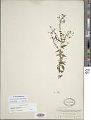 view Lopezia racemosa Cav. subsp. racemosa digital asset number 1
