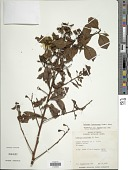 view Ludwigia laroutteana (Cambess.) H. Hara digital asset number 1