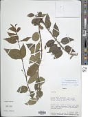 view Fuchsia regia subsp. serrae P.E. Berry digital asset number 1