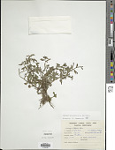 view Ludwigia hyssopifolia (G. Don) Exell digital asset number 1