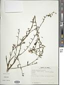 view Ludwigia albiflora Ramamoorthy digital asset number 1