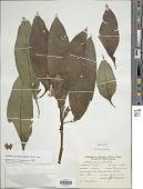 view Ludwigia foliobracteolata (Munz) H. Hara digital asset number 1
