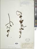 view Ludwigia affinis (DC.) H. Hara digital asset number 1