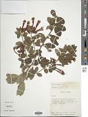 view Fuchsia vulcanica André digital asset number 1