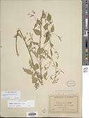view Lopezia miniata Lag. ex DC. subsp. miniata digital asset number 1