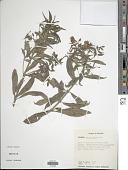 view Fuchsia sanctae-rosae Kuntze digital asset number 1