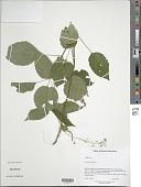 view Circaea lutetiana L. digital asset number 1