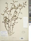 view Ludwigia glandulosa Walter subsp. glandulosa digital asset number 1