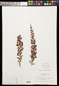 view Berberis buxifolia digital asset number 1