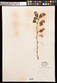 view Berberis vulgaris L. digital asset number 1